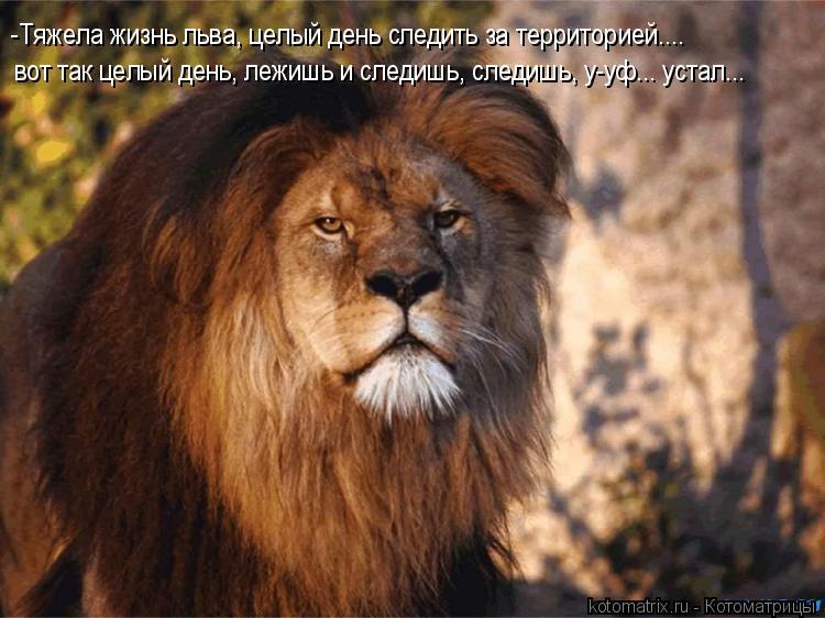 Котоматрица: -Тяжела жизнь льва, целый день следить за территорией.... вот так целый день, лежишь и следишь, следишь, у-уф... устал...