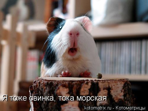 Котоматрица: Я тоже свинка, тока морская