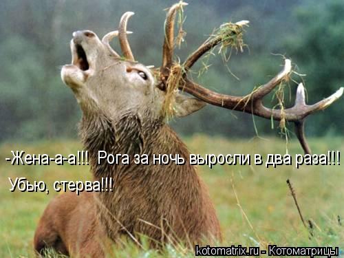 Котоматрица: -Жена-а-а!!!  Рога за ночь выросли в два раза!!! Убью, стерва!!!