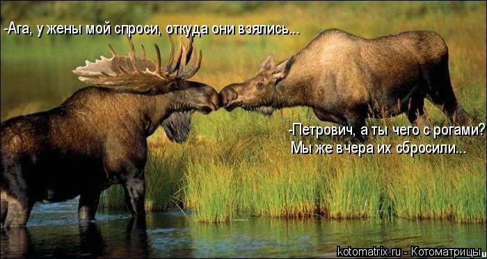 Котоматрица: -Петрович, а ты чего с рогами? Мы же вчера их сбросили... -Ага, у жены мой спроси, откуда они взялись...