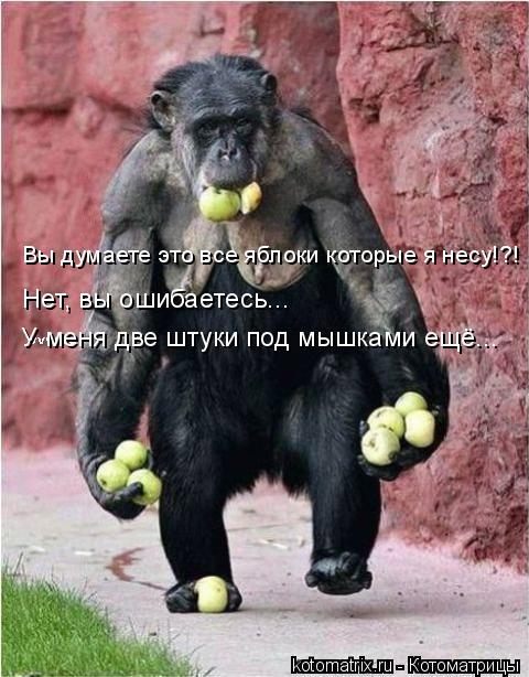 Котоматрица: Вы думаете это все яблоки которые я несу!?! Нет, вы ошибаетесь... У меня две штуки под мышками ещё...