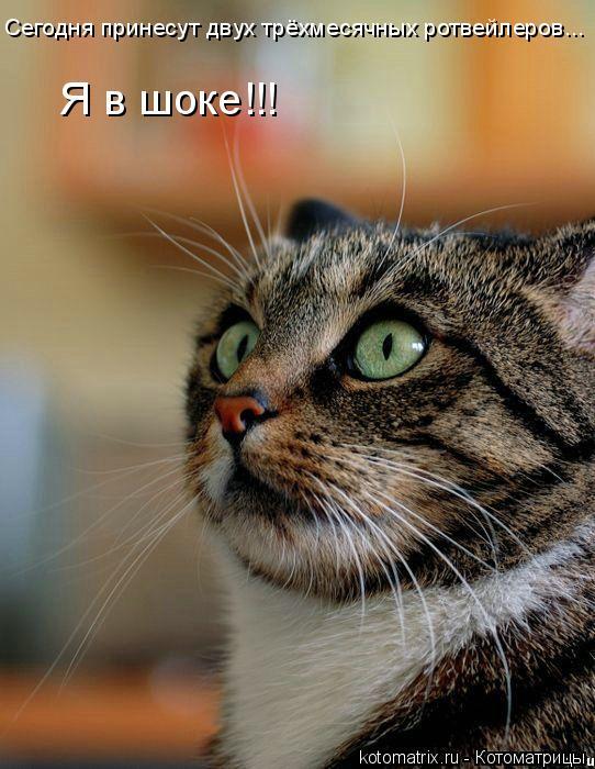 Котоматрица: Сегодня принесут двух трёхмесячных ротвейлеров... Я в шоке!!!