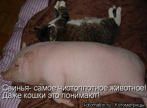 Котоматрица: Свинья- самое чистоплотное животное! Даже кошки это понимают!
