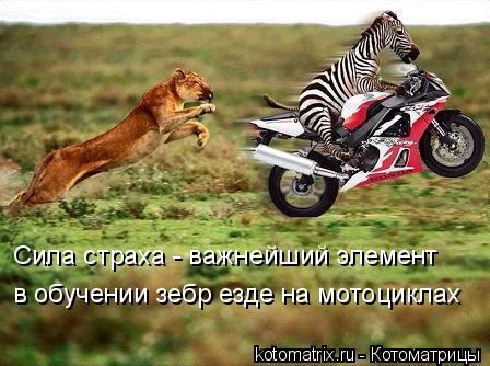Котоматрица: Сила страха - важнейший элемент в обучении зебр езде на мотоциклах