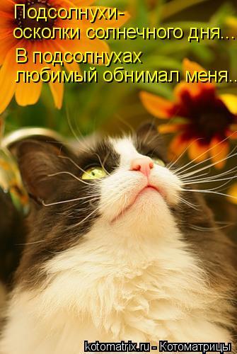 Котоматрица: Подсолнухи-  осколки солнечного дня... В подсолнухах любимый обнимал меня...
