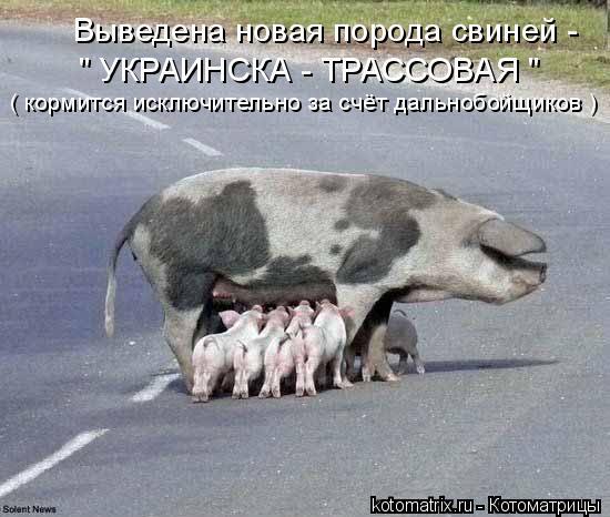 """Котоматрица: Выведена новая порода свиней -  """" УКРАИНСКА - ТРАССОВАЯ """" ( кормится исключительно за счёт дальнобойщиков )"""