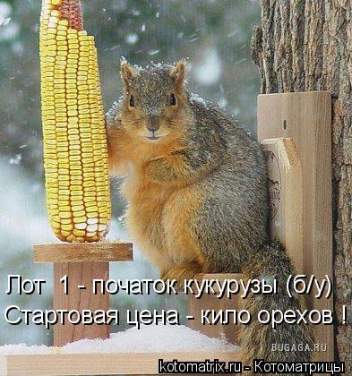Котоматрица: Лот №1 - початок кукурузы (б/у) Стартовая цена - кило орехов !
