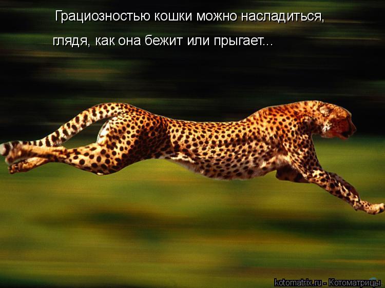 Котоматрица: Грациозностью кошки можно насладиться, глядя, как она бежит или прыгает...