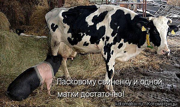 Котоматрица: Ласковому свиненку и одной матки достаточно!