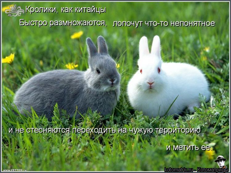 Котоматрица: Кролики, как китайцы Быстро размножаются, лопочут что-то непонятное и не стесняются переходить на чужую территорию и метить ее.