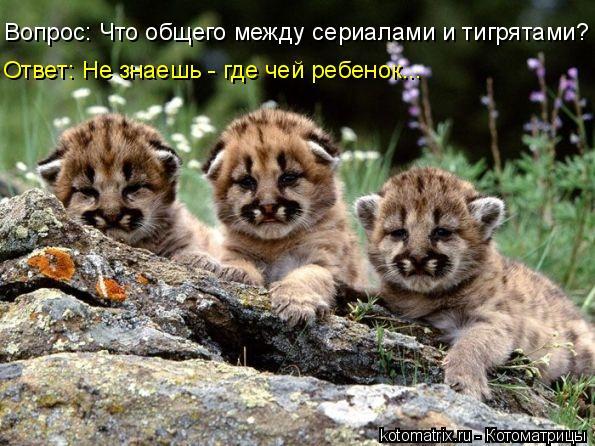 Котоматрица: Вопрос: Что общего между сериалами и тигрятами? Ответ: Не знаешь - где чей ребенок...