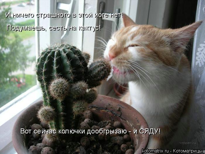 Котоматрица: И ничего страшного в этой йоге нет! Подумаешь, сесть на кактус! Вот сейчас колючки дообгрызаю - и СЯДУ!