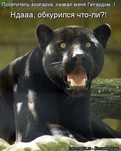 Котоматрица: Ндааа, обкурился что-ли?! Посетитель зоопарка, назвал меня Гепардом..!