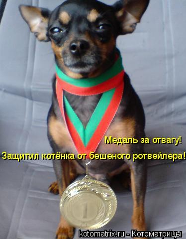 Котоматрица: Медаль за отвагу! Защитил котёнка от бешеного ротвейлера!