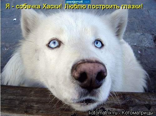Котоматрица: Я - собачка Хаски! Люблю построить глазки!