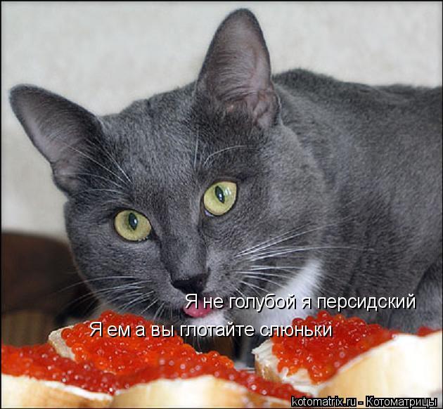 Котоматрица: Я не голубой я персидский Я ем а вы глотайте слюньки