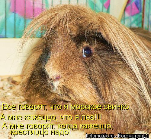 Котоматрица: Все говорят, что я морское свинко А мне кажеццо, что я лев!!! А мне говорят, когда кажеццо, крестиццо надо!