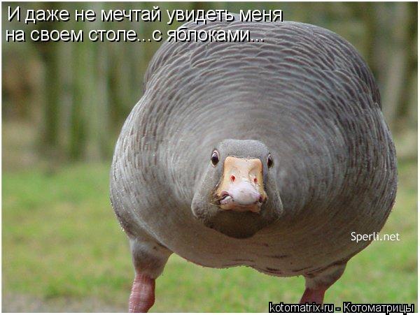 Котоматрица: И даже не мечтай увидеть меня  на своем столе...с яблоками...