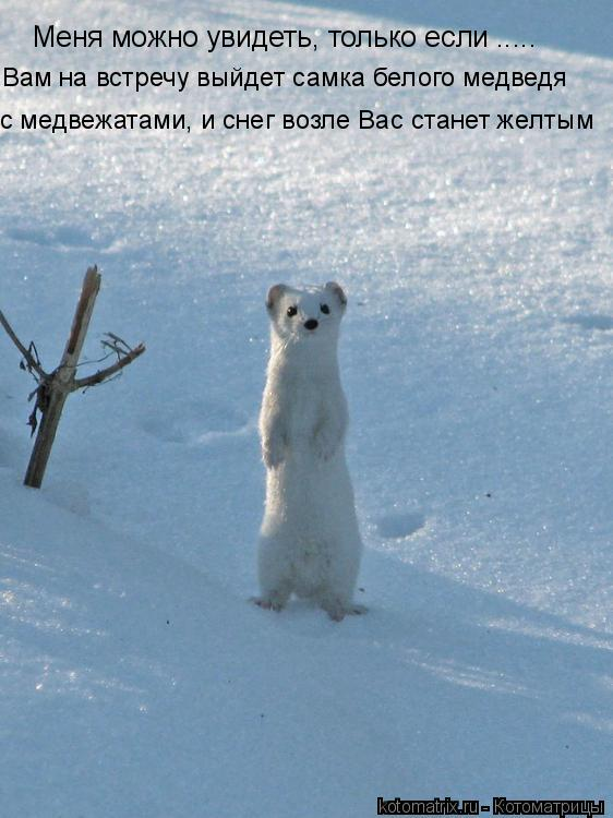 Котоматрица: Меня можно увидеть, только если ..... Вам на встречу выйдет самка белого медведя  с медвежатами, и снег возле Вас станет желтым