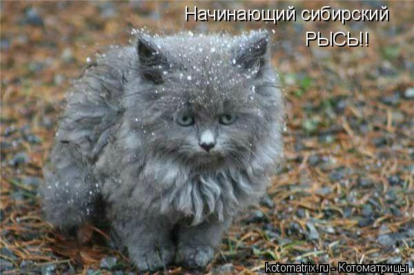 Котоматрица: Начинающий сибирский РЫСЬ!!