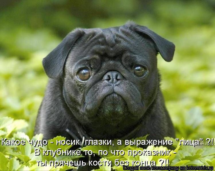 """Котоматрица: Какое чудо - носик, глазки, а выражение """"лица"""" ?!!  В клубнике то, по что проказник -  ты прячешь кости без конца ?!!"""