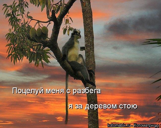 Котоматрица: Поцелуй меня с разбега я за деревом стою