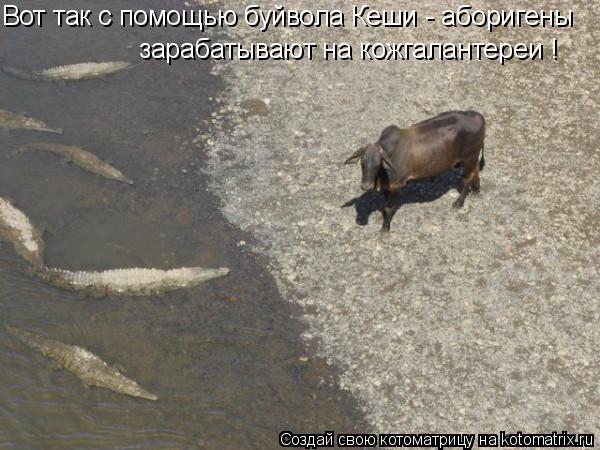 Котоматрица: Вот так с помощью буйвола Кеши - аборигены зарабатывают на кожгалантереи !