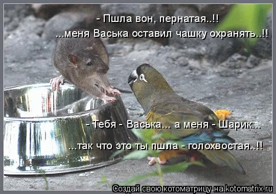Котоматрица: - Пшла вон, пернатая..!! ...меня Васька оставил чашку охранять..!! - Тебя - Васька... а меня - Шарик... ...так что это ты пшла - голохвостая..!!