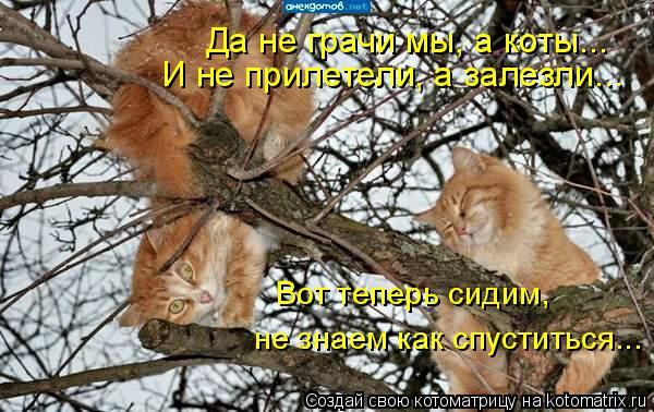 Котоматрица: Вот теперь сидим,  не знаем как спуститься... Да не грачи мы, а коты... И не прилетели, а залезли...