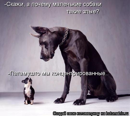 Котоматрица: -Скажи, а почему маленькие собаки такие злые? -Патамушто мы концентрированные..