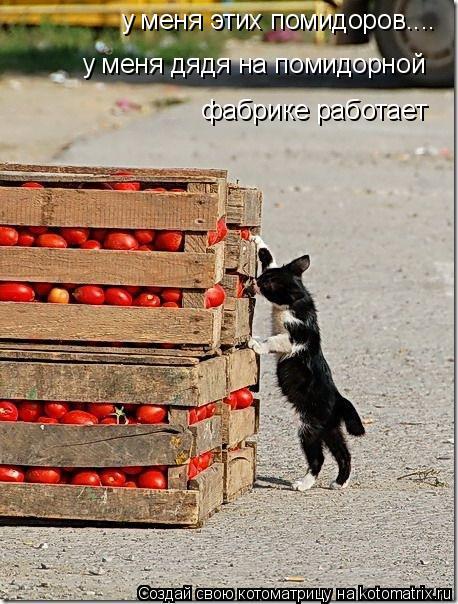 Котоматрица: у меня этих помидоров.... у меня дядя на помидорной  фабрике работает