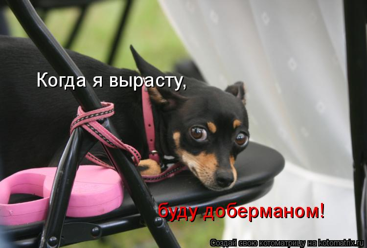 Котоматрица: Когда я вырасту,  буду доберманом!