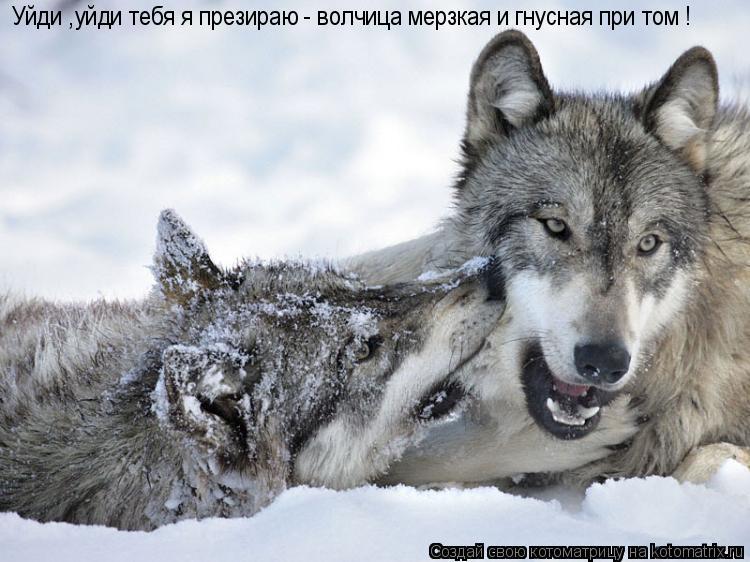 Котоматрица: Уйди ,уйди тебя я презираю - волчица мерзкая и гнусная при том !