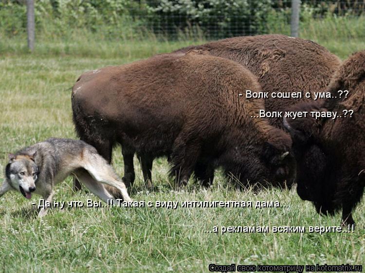 Котоматрица: - Волк сошел с ума..?? ...Волк жует траву..?? - Да ну что Вы..!! Такая с виду интилигентная дама... ...а рекламам всяким верите..!!