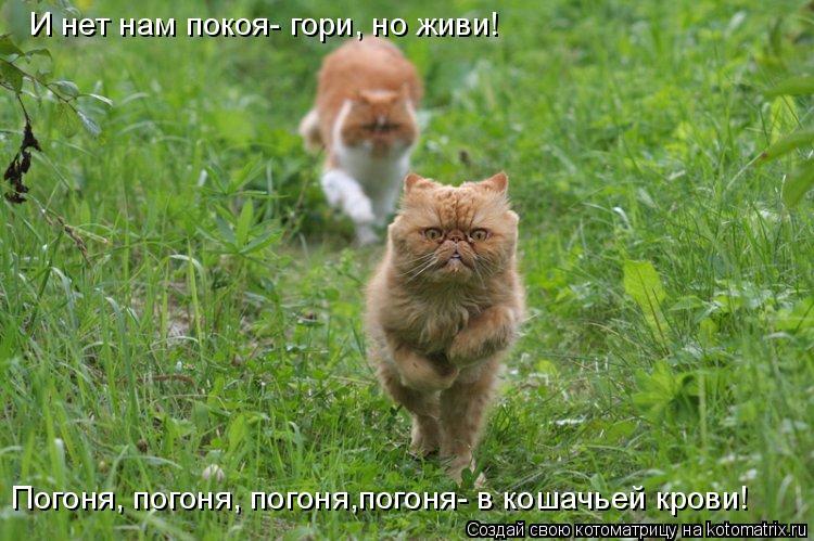 Котоматрица: И нет нам покоя- гори, но живи! Погоня, погоня, погоня,погоня- в кошачьей крови!