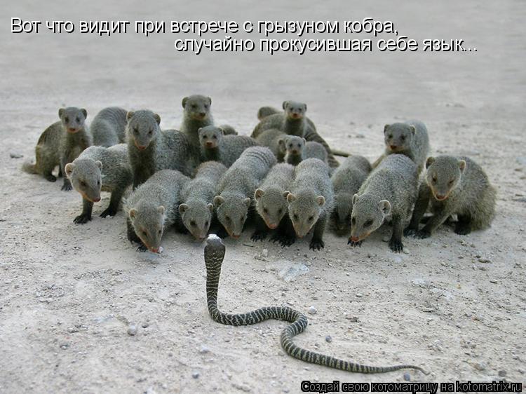 Котоматрица: Вот что видит при встрече с грызуном кобра,  случайно прокусившая себе язык...