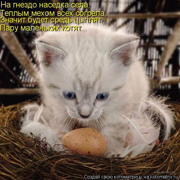 Котоматрица: На гнездо наседка села, Теплым мехом всех согрела, Значит будет средь цыплят Пару маленьких котят...