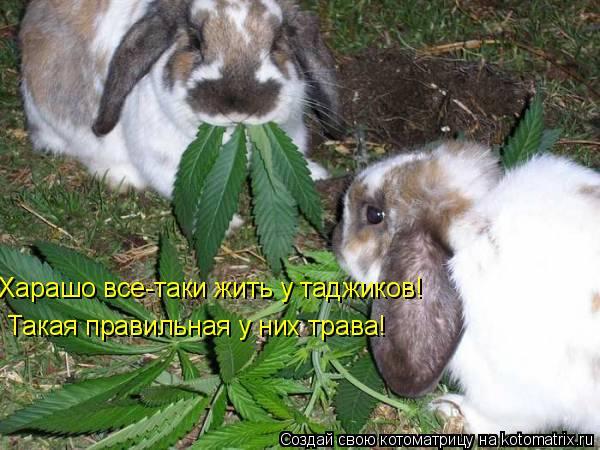 Котоматрица: Харашо все-таки жить у таджиков! Такая правильная у них трава!