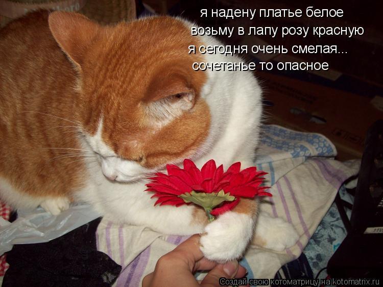 Котоматрица: я надену платье белое возьму в лапу розу красную я сегодня очень смелая... сочетанье то опасное