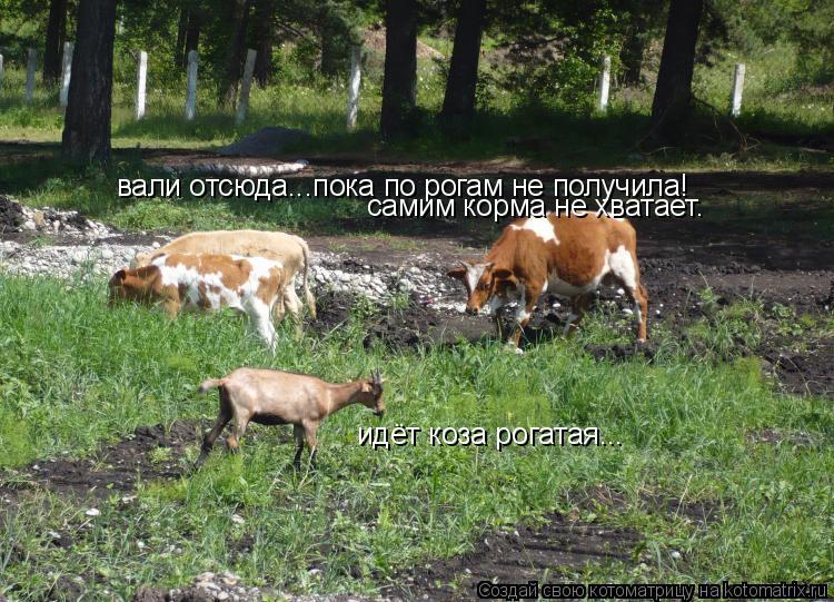 Котоматрица: идёт коза рогатая... вали отсюда...пока по рогам не получила! самим корма не хватает.