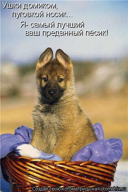 Котоматрица: Ушки домиком, пуговкой носик... Я- самый лучший ваш преданный пёсик!