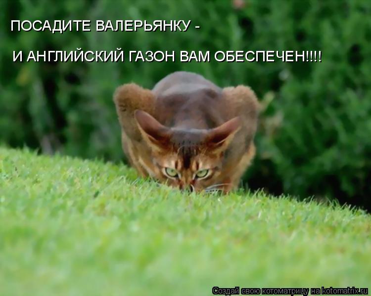 Котоматрица: ПОСАДИТЕ ВАЛЕРЬЯНКУ - И АНГЛИЙСКИЙ ГАЗОН ВАМ ОБЕСПЕЧЕН!!!!