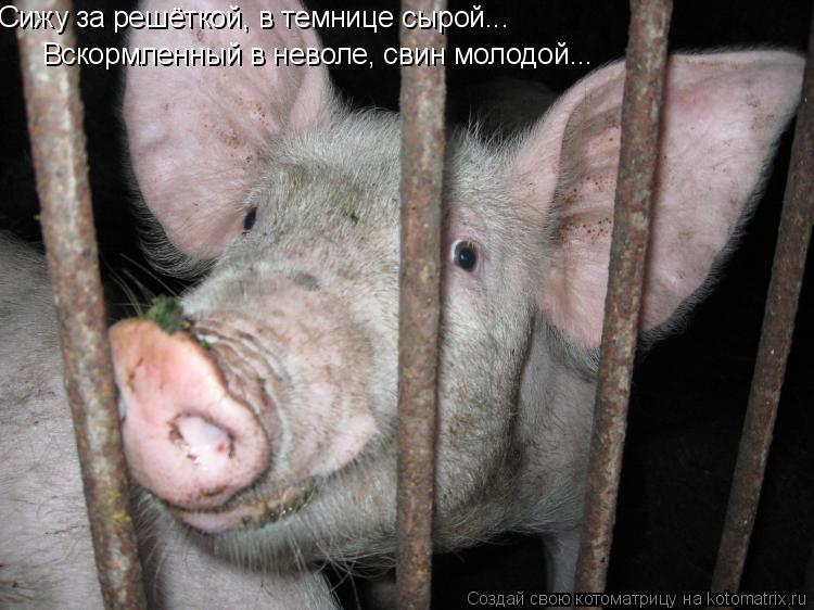 Котоматрица: Сижу за решёткой, в темнице сырой... Вскормленный в неволе, свин молодой...