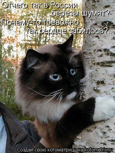 Котоматрица: Отчего так в России  берёзы шумят? Почему-то тревожно так сердце забилось?...