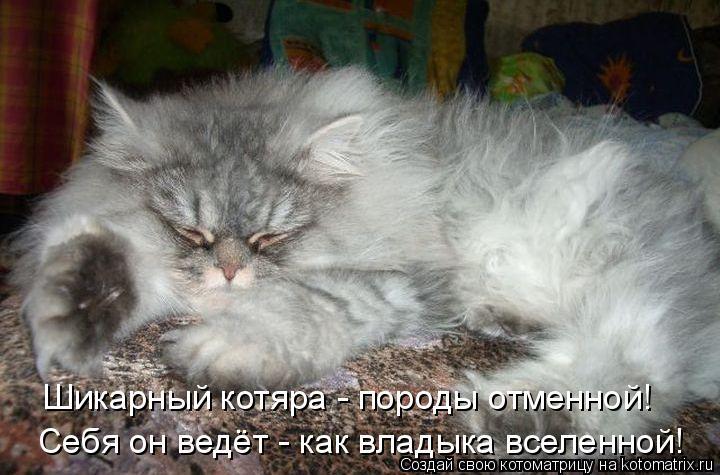 Котоматрица: Шикарный котяра - породы отменной! Себя он ведёт - как владыка вселенной!