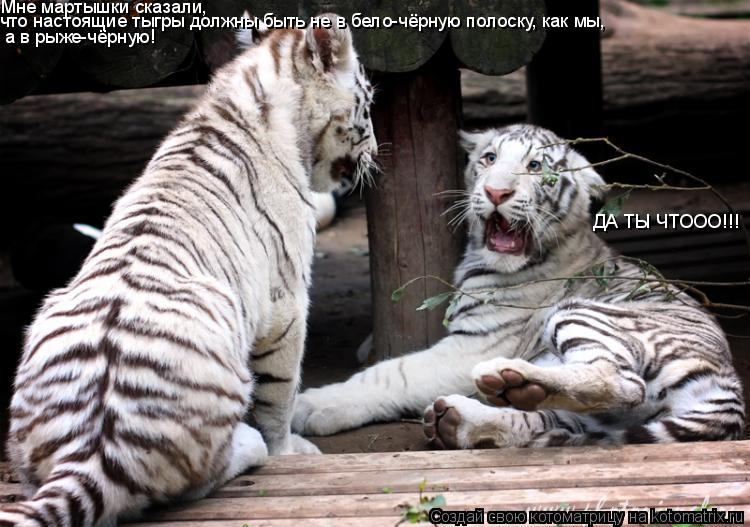 Котоматрица: Мне мартышки сказали, что настоящие тыгры должны быть не в бело-чёрную полоску, как мы, а в рыже-чёрную! ДА ТЫ ЧТООО!!!