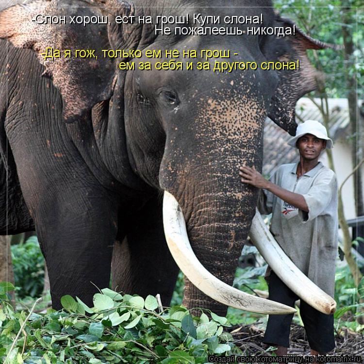 Котоматрица: -Слон хорош, ест на грош! Купи слона!  Не пожалеешь никогда! -Да я гож, только ем не на грош -  ем за себя и за другого слона!