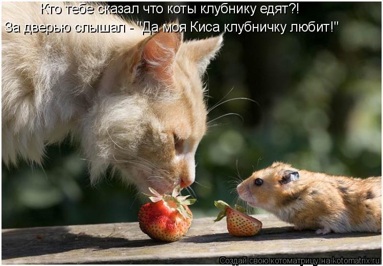"""Котоматрица: Кто тебе сказал что коты клубнику едят?! За дверью слышал - """"Да моя Киса клубничку любит!"""""""