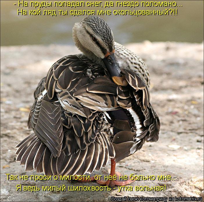 Котоматрица: Я ведь милый шилохвость - утка вольная! Так не проси о милости, от неё не больно мне.. На кой ляд ты сдался мне окольцованный?!! - На пруды попад