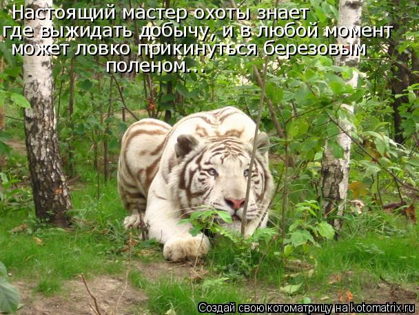 Котоматрица: Настоящий мастер охоты знает  где выжидать добычу, и в любой момент  может ловко прикинуться березовым  поленом...